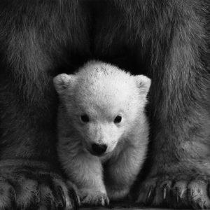 animal-animal-photography-bear-598966
